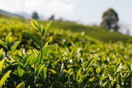 Nachhaltiger Einkauf: Beispiel einer Teeplantage